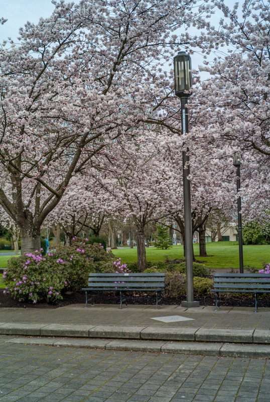 Park Bench And Cherry Blossoms
