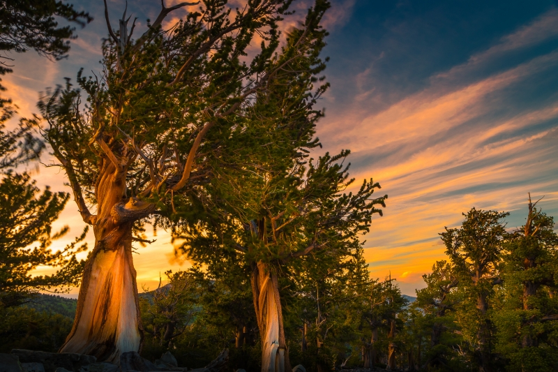 Bristlecone Pines In Great Basin National Park