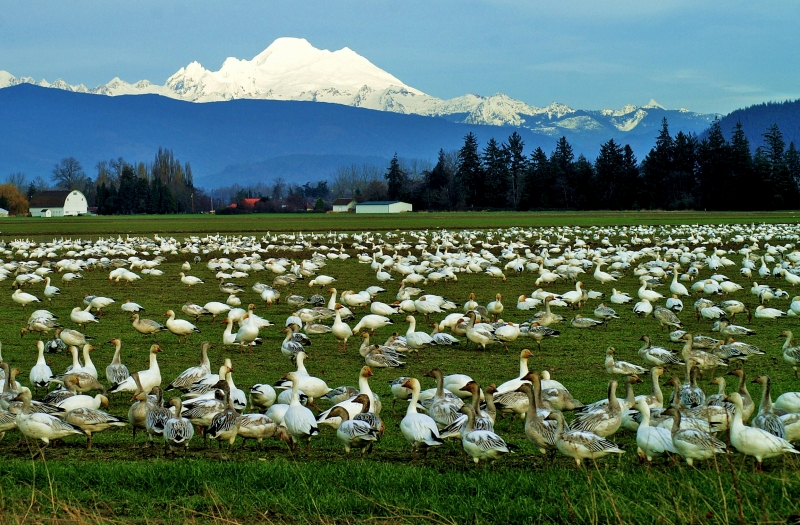 Migration In Skagit Valley