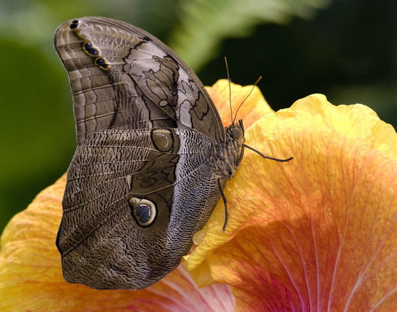 Brown On Hibiscus