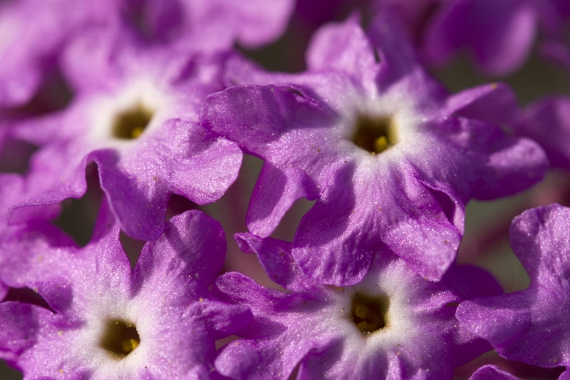 Portrait Of A Sand Verbena