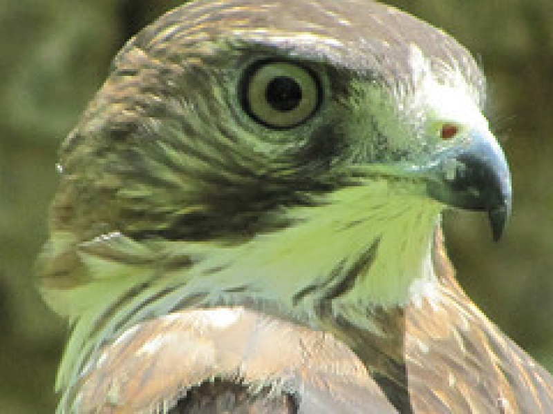 Red Tailhawk