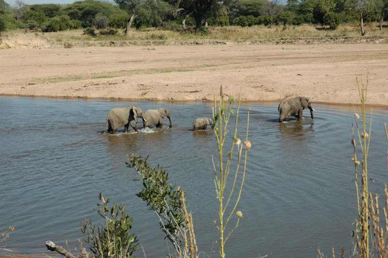 Elephants Crossing Ruaha River