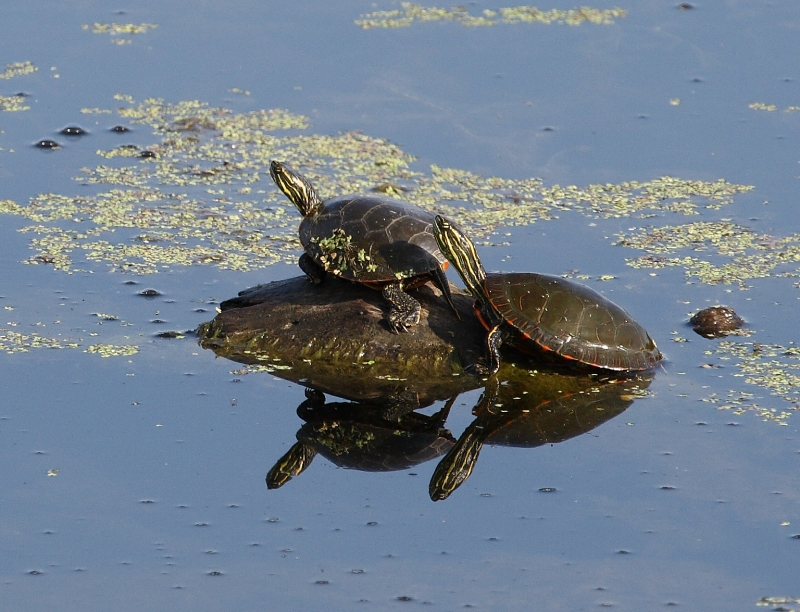 Relaxing Painted Turtles