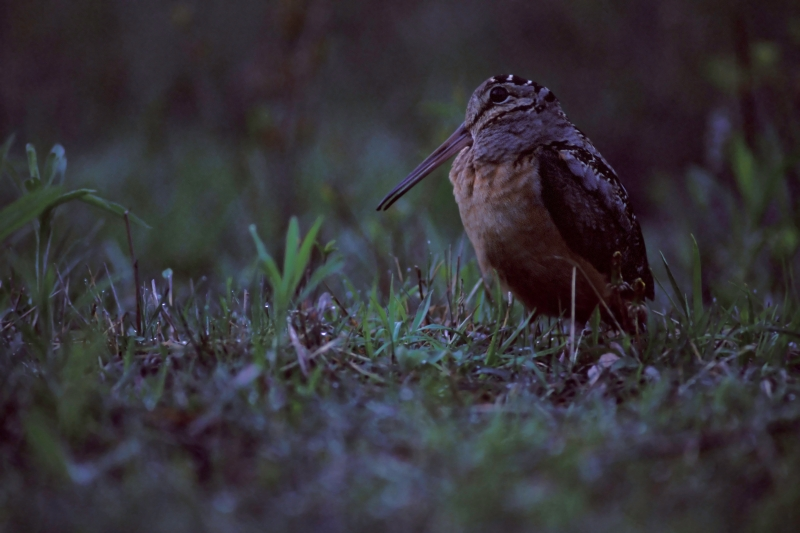 Woodcock At Dusk