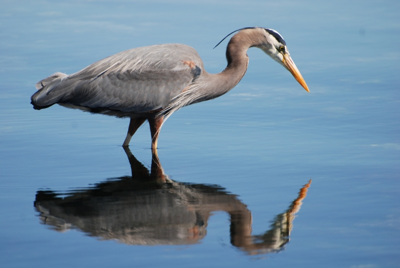 Heron Reflecting.