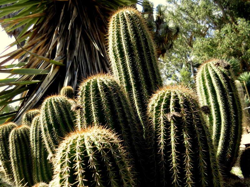 Leaning Cacti
