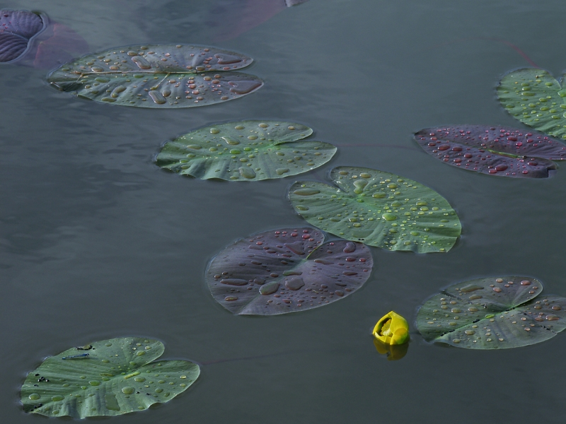 Lily Pads (after The Rain)