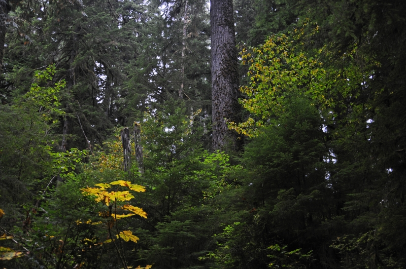 Olympic Nat. Park Rain Forest Fall Colors