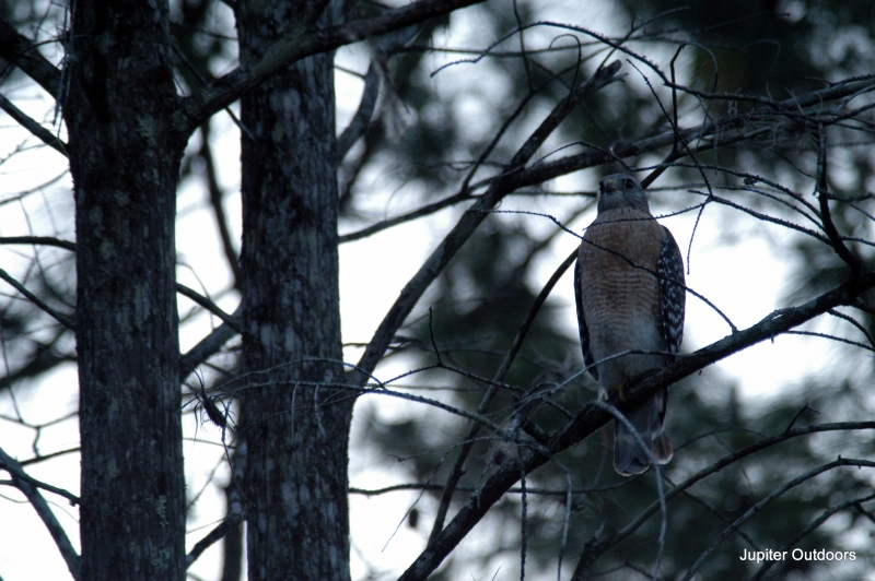 Red-shouldered Hawk Stalking Prey