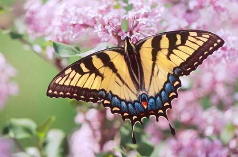 Tiger Swallowtail Butterfly On Lilac Flowers