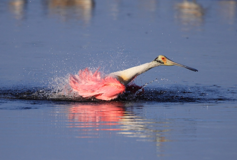 Roseate Spoonbill Taking A Morning Bath