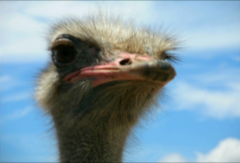 Ostrich Farm In Aruba