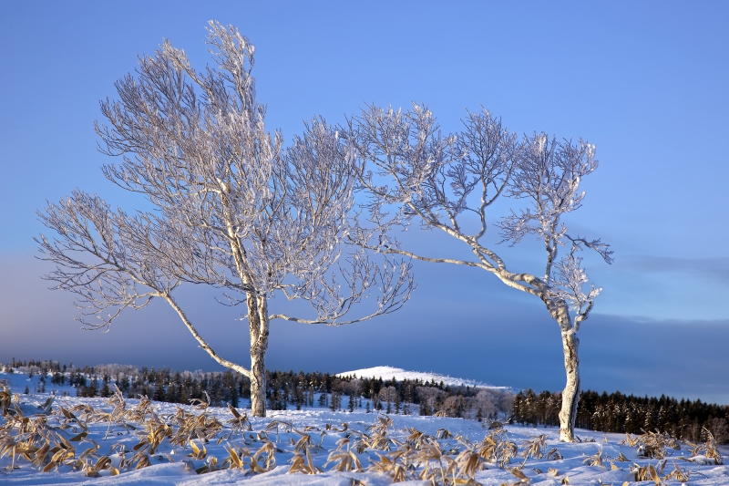 Hoarfrost Trees With Mountain Backdrop