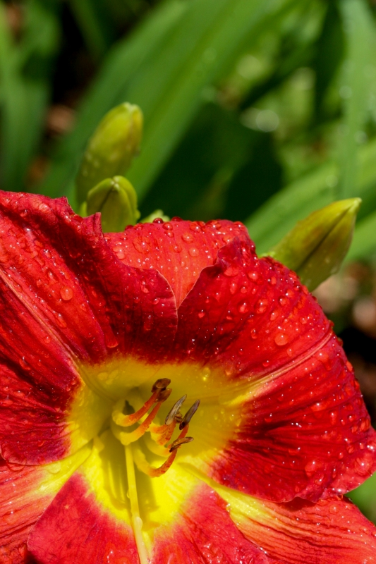 Rain On A Sunlit Daylily