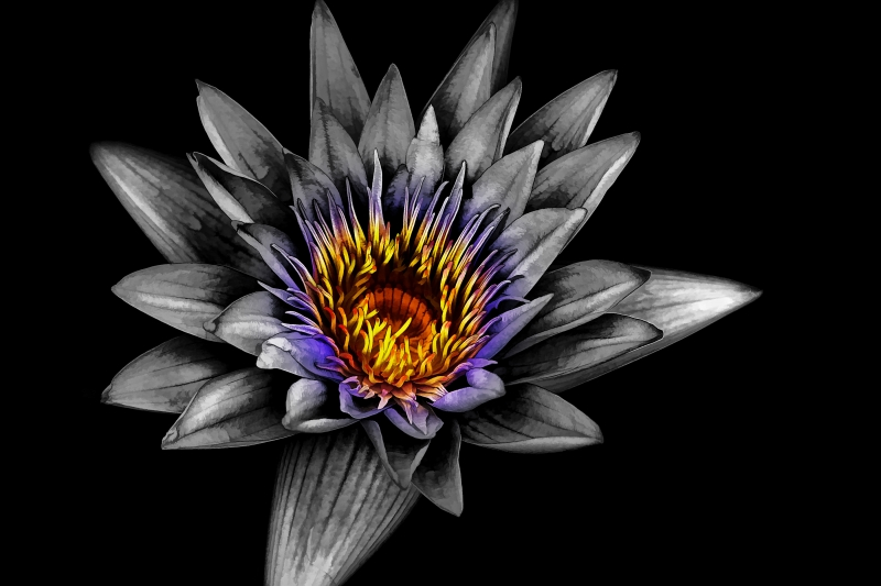 Water Lily Bw-color