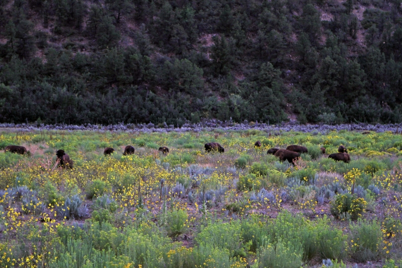 Bisons In Meadow Of Flowers