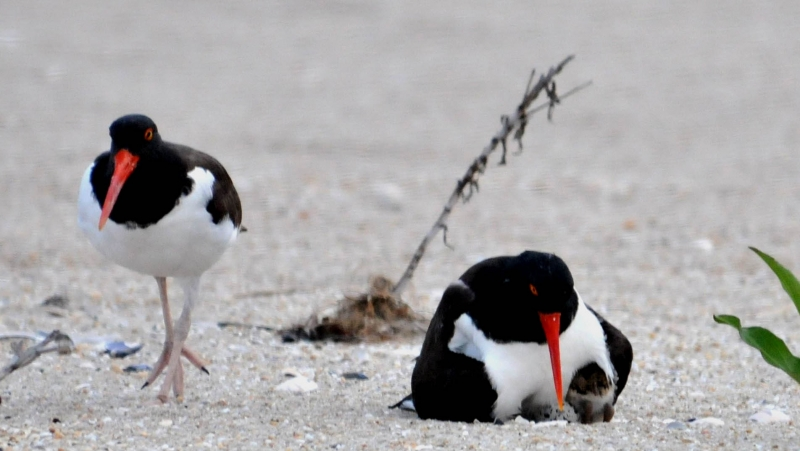 American Oyster Catchers 1 Egg 2 Chicks