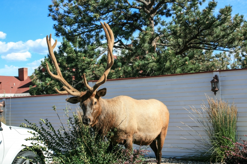 Elk At The Stanley Hotel