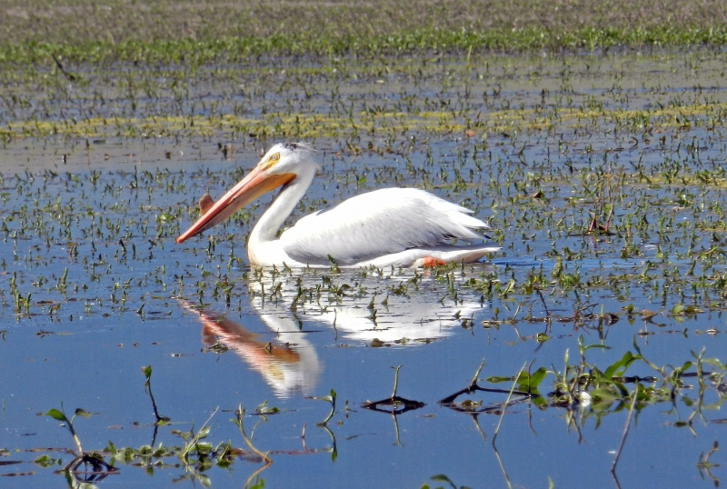 White Pelicans Of Lake Deweese, Vo