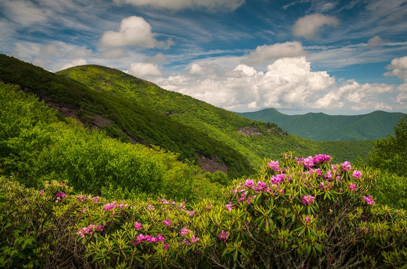 Blue Ridge Parkway Craggy Gardens Rhododendron Bloom Nc