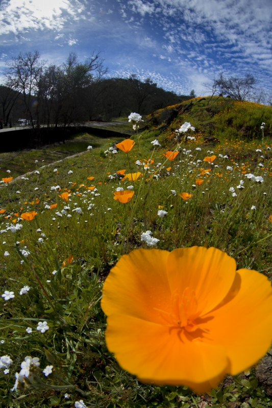 After The Butte Fire – Mokelumne River Poppies
