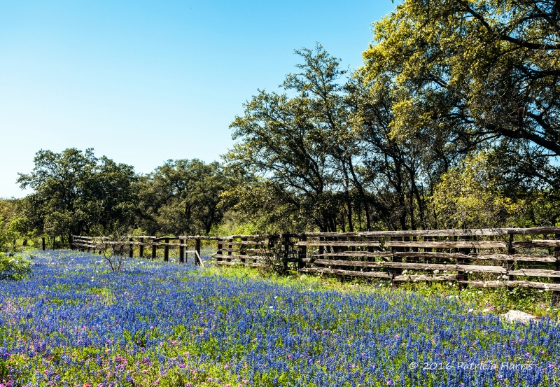 A Blue Bonnet Day