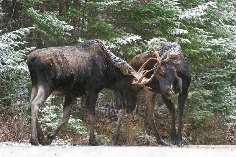 Sparring Young Bull Moose In Winter