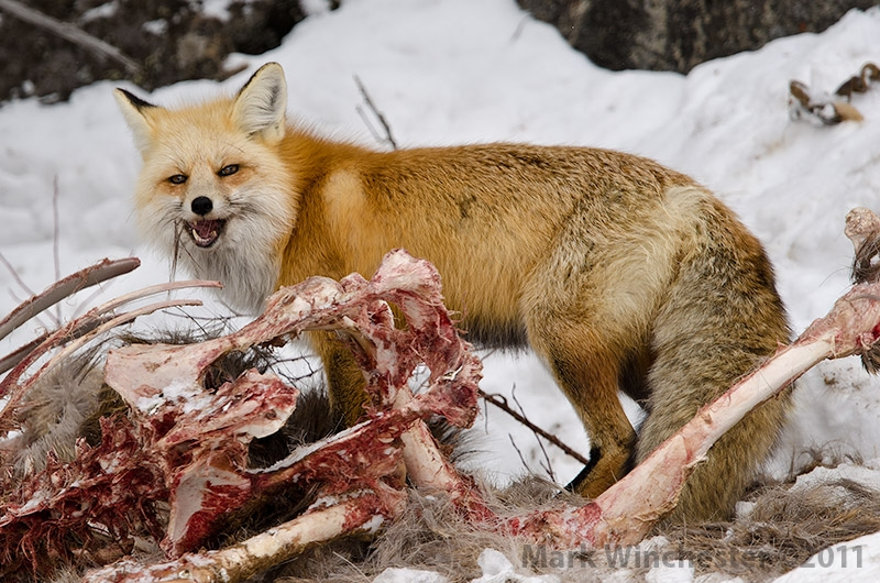 Red Fox Munching Elk Hide For Winter Lunch