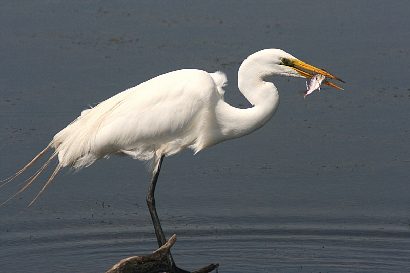 Great Egret With Small Fish