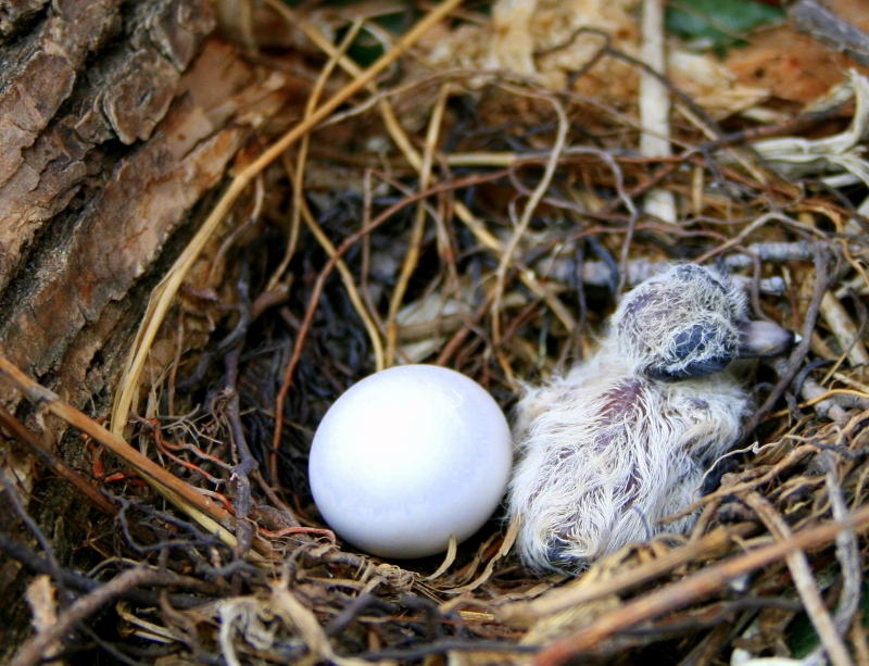 Mourning Dove – Just Hatched