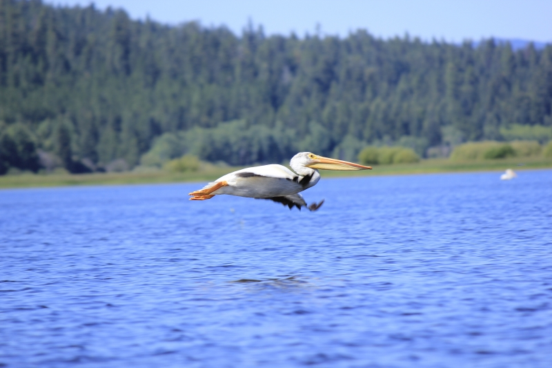 Pelican In Flight Over Pelican Bay