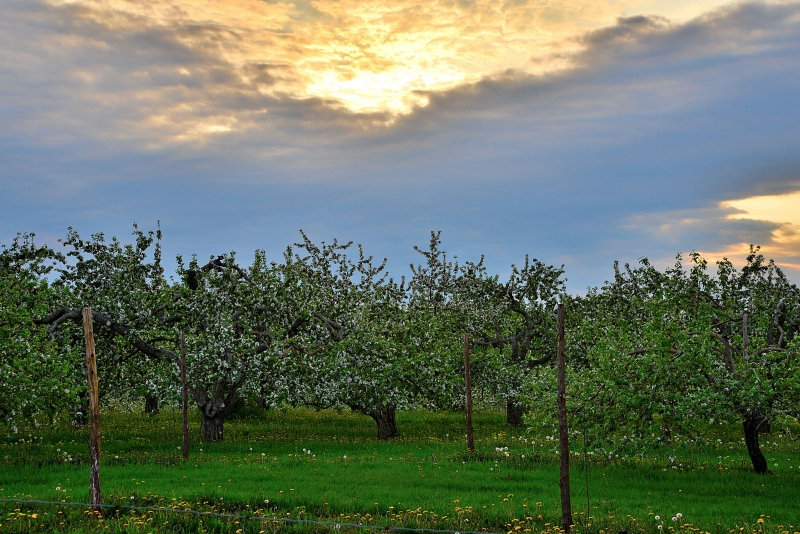 Apple Orchard Sunset 2