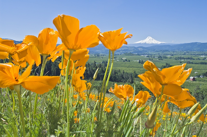 Hood River Valley In Spring