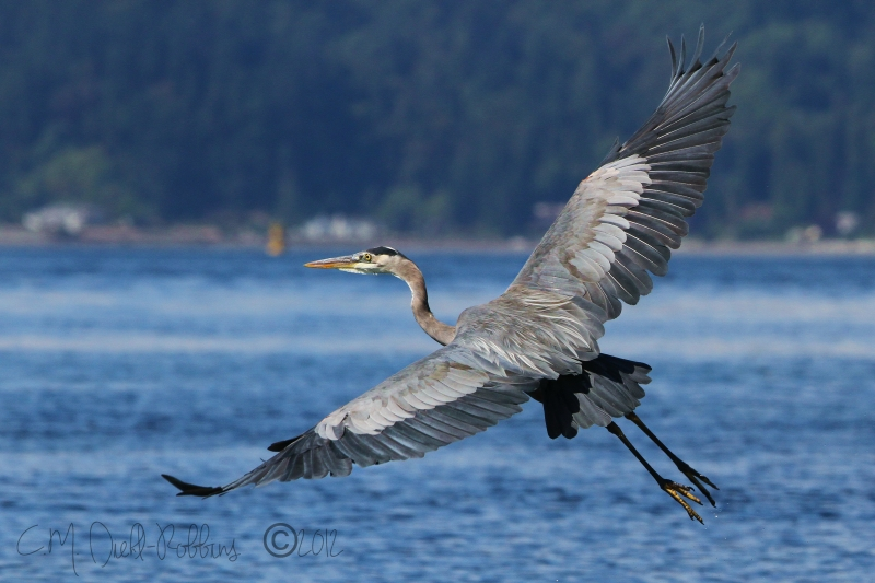Blue Heron On The Wing