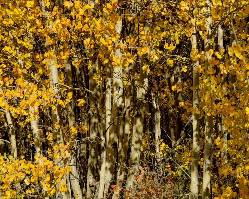 Autumn Aspen Thicket
