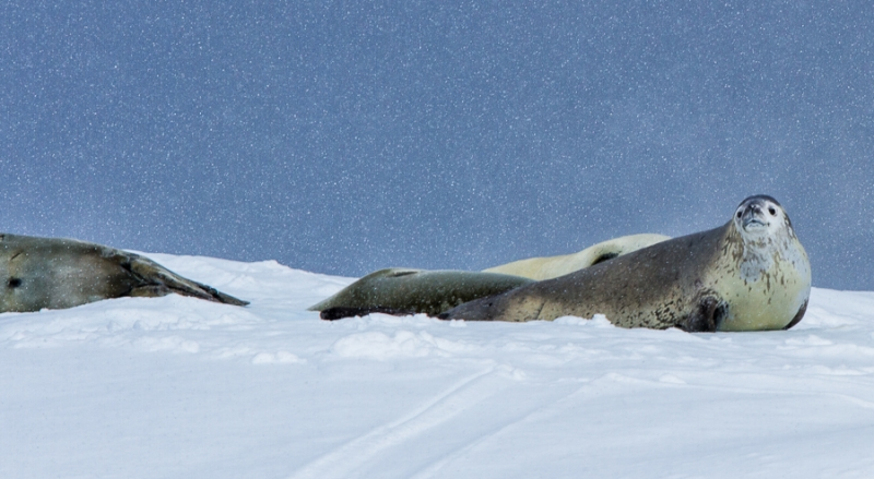 Love The Snow, Weddell Seal