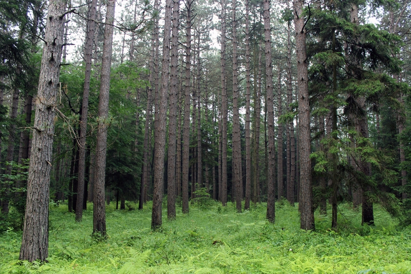 Red Pine Plantation (planted By Civilian Conservation Corp)