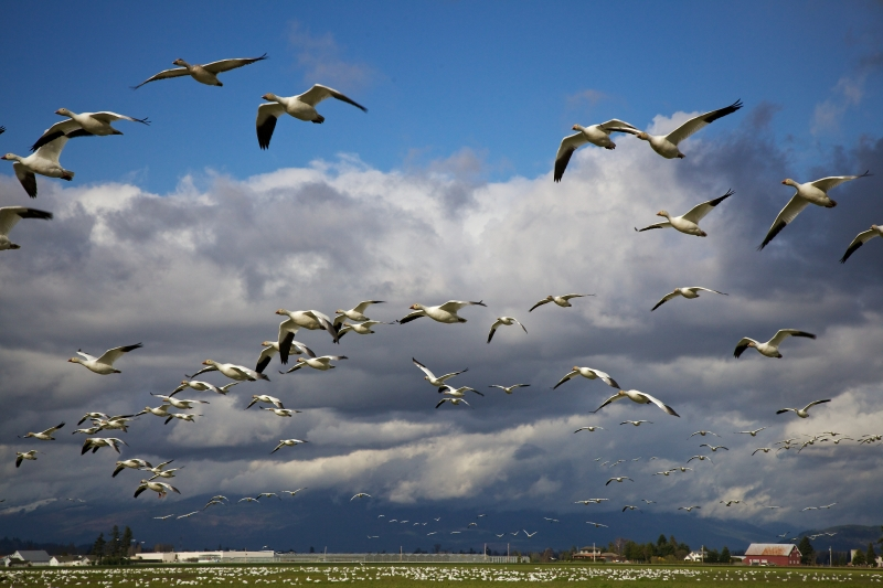 Snow Geese Over Skagit Valley