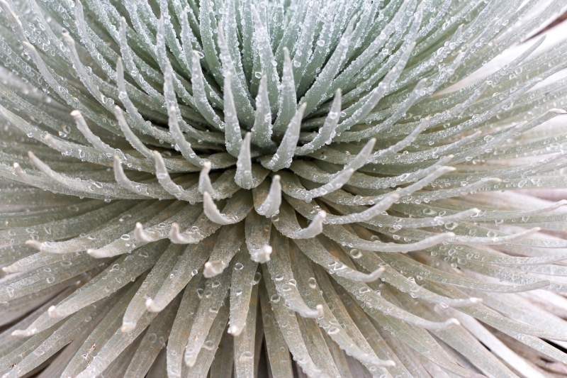Close-up Of Silversword In Haleakala Np – Maui