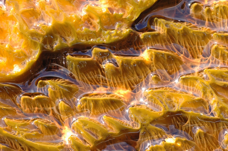 Yellow Algae Near The Yellowstone Hot Springs