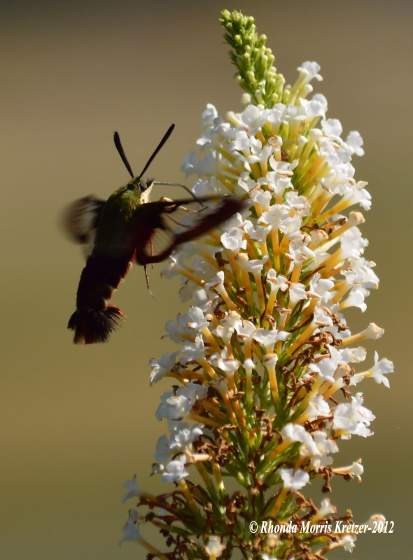 Snowberry Clearwinged Hummingbird Moth