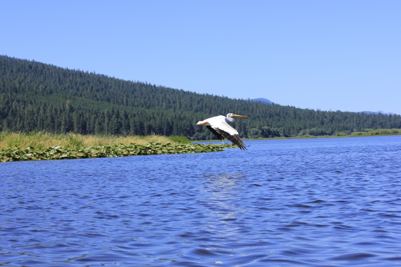 Pelican In Flight Over Pelican Bay 2