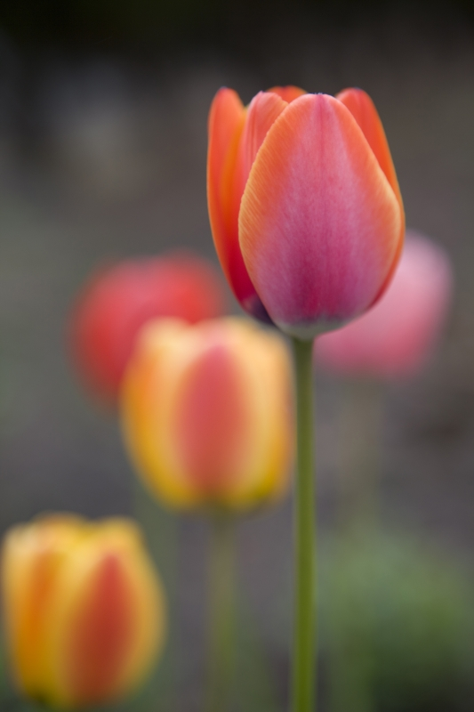 Tulips-cle-9239-0410