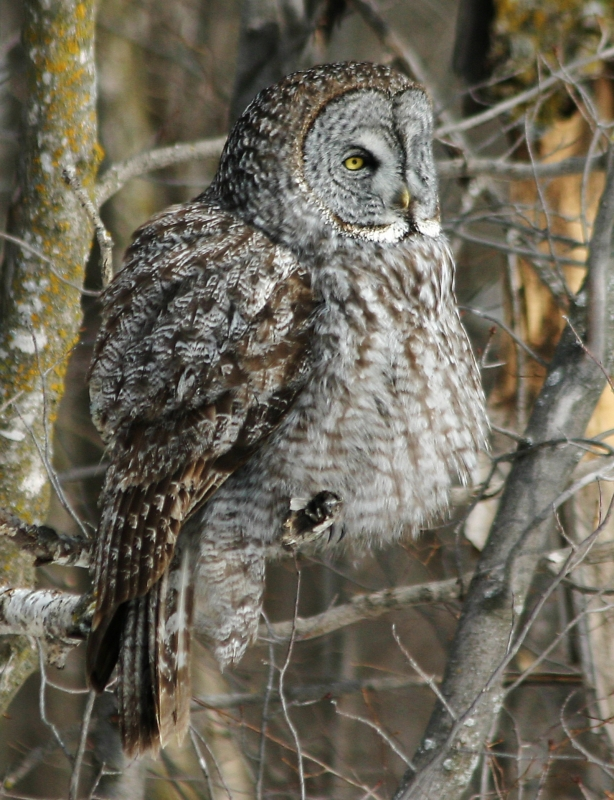 Rest Great Gray Owl