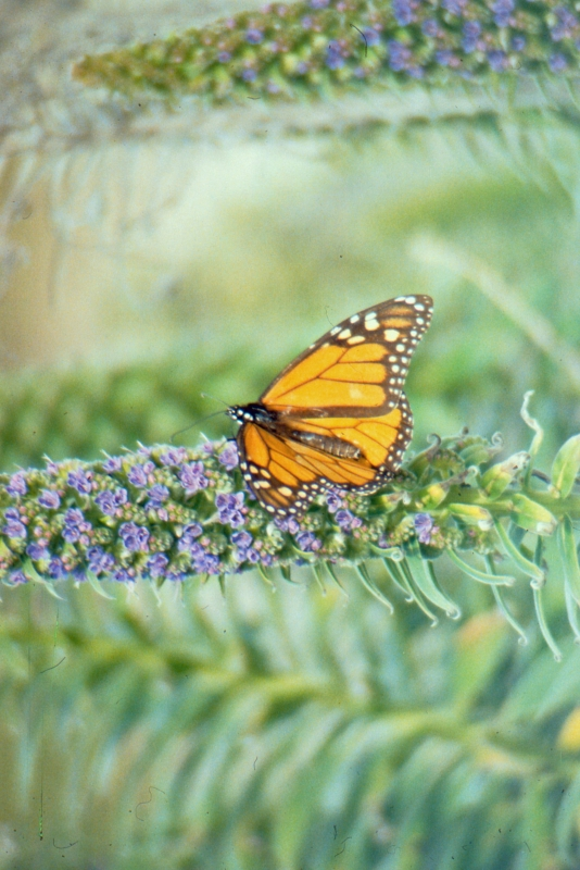 Monarch In Summer