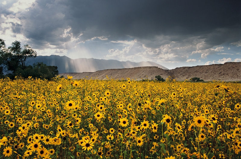 God's Ray's And Sunflowers