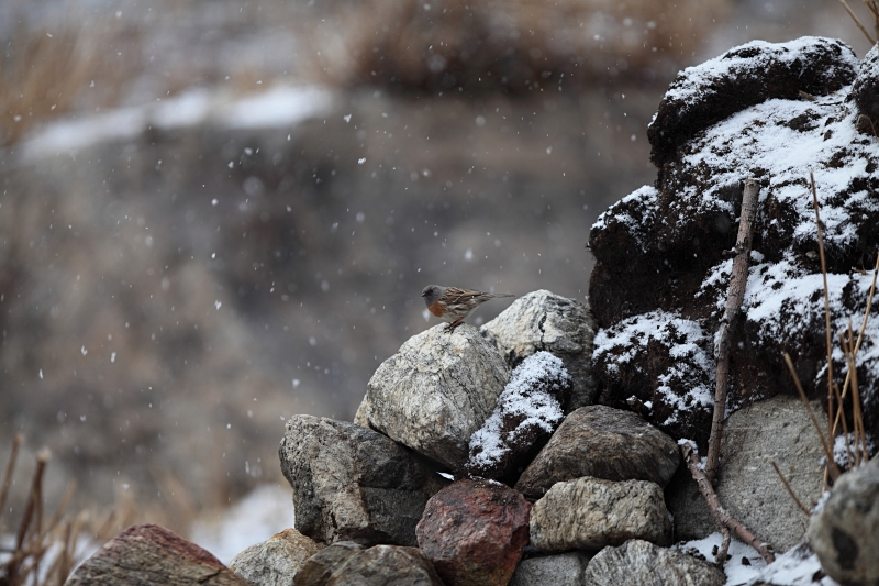 Robin Accentor In The Snow