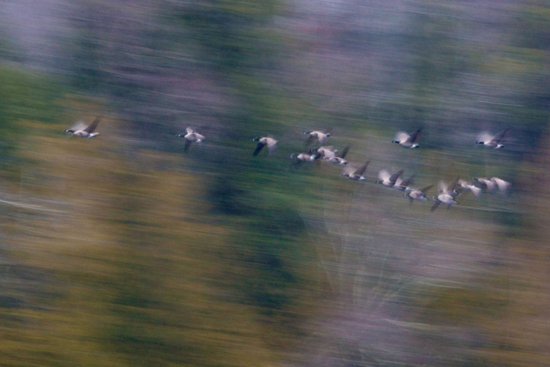Canada Geese During Migration