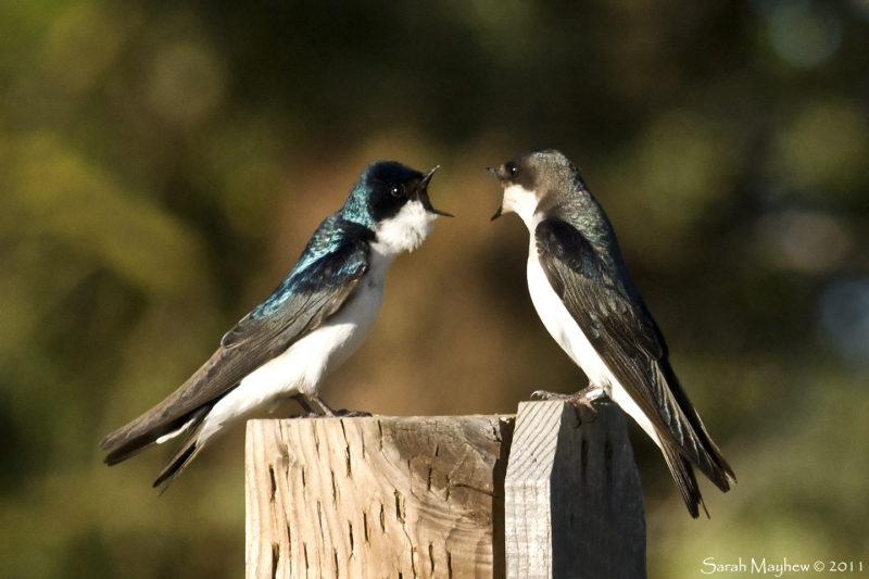 Tree Swallow Conversation